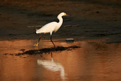 White Snowy Egret stalks prey at dusk Royalty Free Stock Image