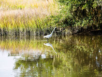 White Snowy Egret Wading in Marsh Royalty Free Stock Images