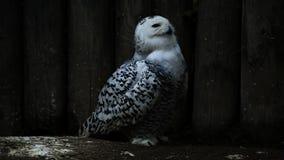 White snowy owl stock video