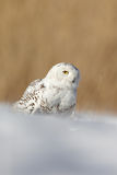 White Snowy owl, Nyctea scandiaca, with yellow eyes sitting on the snow during cold winter royalty free stock images