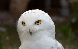White Snowy Owl Stock Images