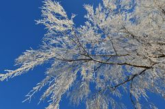 White snowy tree in the blue sky stock photo