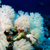 White soft coral Xeniidae in tropical sea, underwater Stock Image