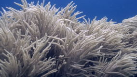 White soft corals on blue background underwater in ocean of wildlife Philippines. Travel in world of unique colorful beautiful ecosystem nature coral, algae stock footage