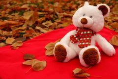 White soft cute teddy bear with scarf sitting on red carpet and fallen leaves as christmas gift and decoration. White soft cute teddy bear with scarf sitting on Stock Photography