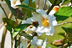 Smooth and white wild plum flower. Fluffy white flower with a yellow median on a spring tree Royalty Free Stock Images