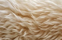 White soft wool texture background, cotton wool, light natural sheep wool, close-up texture of white fluffy fur,  wool with beige. Tone, fur with a delicate Royalty Free Stock Photo