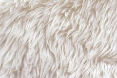 White soft wool texture background, cotton wool, light natural sheep wool, close-up texture of white fluffy fur,  wool with beige. Tone, fur with a delicate Royalty Free Stock Image