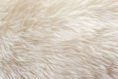 White soft wool texture background, cotton wool, light natural sheep wool, close-up texture of white fluffy fur,  wool with beige. Tone, fur with a delicate Royalty Free Stock Images