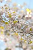 White Somei Yoshino cherry blossoms in bloom with pale bokeh til. T lens effect in Asukayama park in the Kita district of Tokyo, Japan stock photography