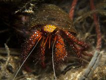 White Sopt Hermit Crab - Dardanus megistos Royalty Free Stock Photo