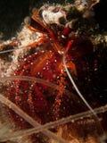 White Sopt Hermit Crab - Dardanus megistos Stock Image