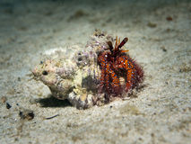 White Sopt Hermit Crab - Dardanus megistos Stock Photos