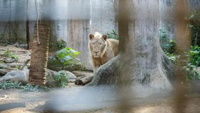 White South Africa Lion portrait looking straight into the camera, close up stock photo