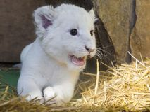 White South African lion cub Royalty Free Stock Images
