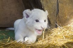 White South African lion cub royalty free stock photography