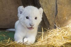 White South African lion cub Stock Image