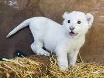 White South African lion cub stock images
