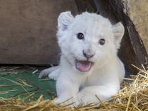 White South African lion cub Stock Photography
