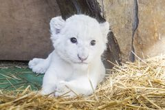 White South African lion cub Stock Photo