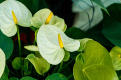 White spadix flower Royalty Free Stock Images