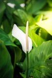 White spadix flower Stock Photography
