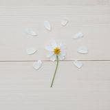 White Spanish needle flower and white petals Royalty Free Stock Images
