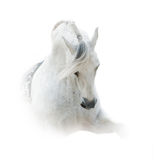 White spanish stallion Royalty Free Stock Images