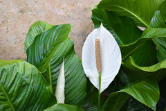 White Spathiphyllum - Peace Lily Royalty Free Stock Photos