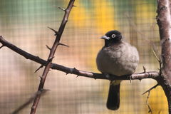 White-spectacled bulbul Stock Photography