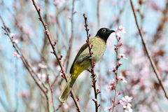 Yellow vented Bulbul Royalty Free Stock Photo