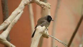 A white spectacled bulbul sits on a tree branch Pycnonotus xanthopygos. A white spectacled bulbul sits on a tree branch looking around calmly Pycnonotus stock footage