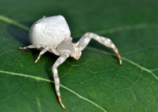 Free White Spider Stock Photography - 14865772