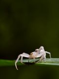 White spider. A white spider on a leaf stock image