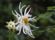 White spider flower Stock Photo