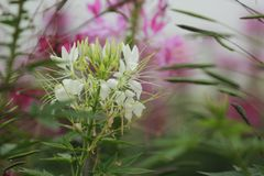White spider flower Royalty Free Stock Photography