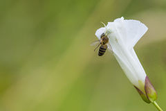 White spider hunting. A honey bee Royalty Free Stock Image