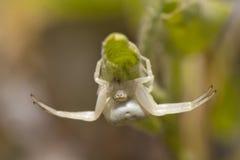 White spider on leaf Stock Image