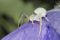 White spider on leaf Royalty Free Stock Photos