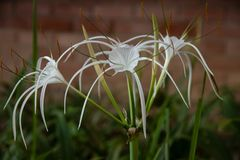 White spider lilies blurred background, low yellow saturation. 26 June 2018 stock photo