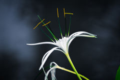 White spider lily with dark background with smoke Stock Photos