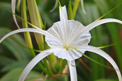White spider lily flower Stock Photos