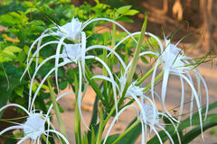 White spider lily flower Royalty Free Stock Photography