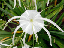 White Spider Lily Flower Stock Photos