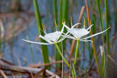 White Spider Lily flowers. White Spider Lily or Hymenocallis flowers in bloom with reeds and water in background. Florida Everglades, America Stock Photo
