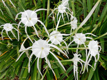 White Spider Lily Flowers Royalty Free Stock Images