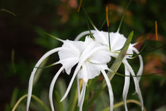 White spider Lily. Flowers on natural green leaf background Stock Image