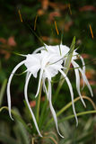 White spider Lily. Flowers on natural green leaf background Royalty Free Stock Images