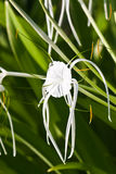 White Spider Lily - Hymenocallis Stock Images
