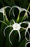 White Spider Lily - Hymenocallis Sp. Stock Photography